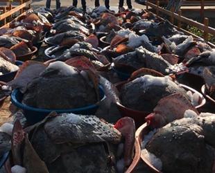 Kaçak avlanan 3 ton kalkan balığına el konuldu