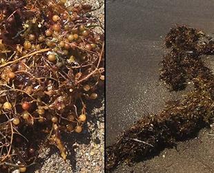 İzmir'de görülen deniz yosunları endişe yaratıyor