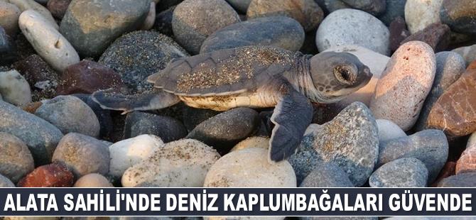 Deniz kaplumbağalarının yuva sayısında artış var