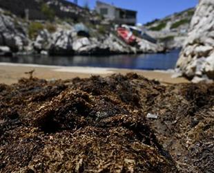 Fransa'nın güney kıyılarını zehirli deniz yosunları kapladı