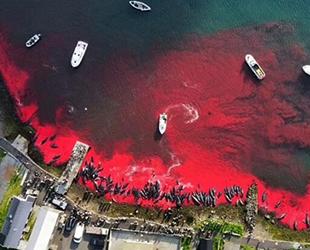 Faroe Adaları'nda yine balina katliamı yapıldı