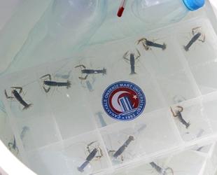 ÇOMÜ'de yetiştirilen ıstakoz yavruları Çanakkale Boğazı'na bırakıldı