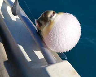 Balon balığı avcılığı teşviki olta balıkçılarını sevindirdi