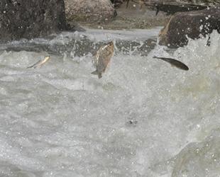 Kars'ta tatlı su kefallerinin zorlu yolculuğu sürüyor