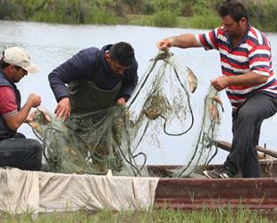 İsrail sazanının popülasyonunu azaltmak için çalışma başlatıldı