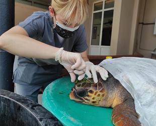 Çanakkale'de kafasından yaralanan caretta tedavi altına alındı