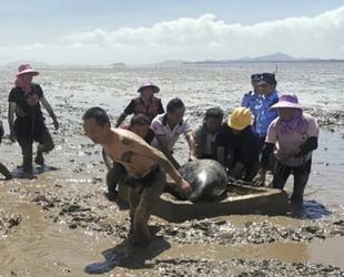 Çin'de 12 adet balina karaya vurdu