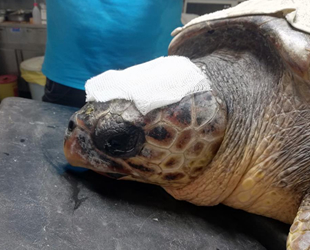 Çanakkale'de yaralı olarak bulunan caretta tedavi altına alındı