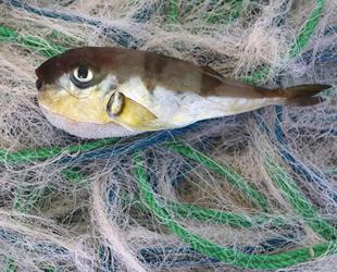 Akdeniz'de balon balığı popülasyonu arttı