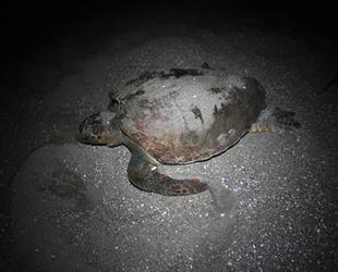 Akyatan Sahili deniz kaplumbağalarına yuva oluyor