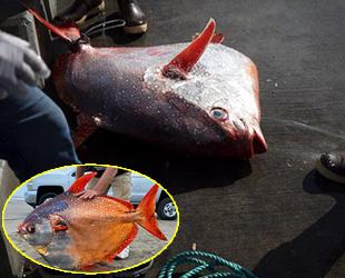 Nadir görülen opah balığı, ABD'de kıyıya vurdu