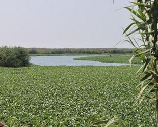 Asi Nehri'ni yine istilacı su sümbülleri kapladı