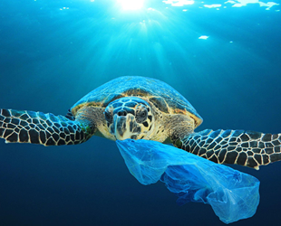 Plastik yutan yavru deniz kaplumbağalarının çok azı hayatta kalabiliyor