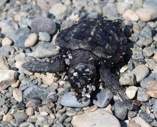Petrol atıkları, yavru deniz kaplumbağalarının ölmesine neden oldu