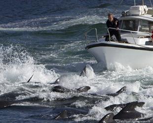 Faroe Adaları'nda yüzlerce yunus bıçaklanarak öldürüldü