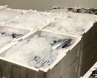 İstanbul'da 3 ton orkinos ve istavrite el konuldu