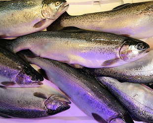 Karadeniz somonu ihracatı yüzde 385 arttı