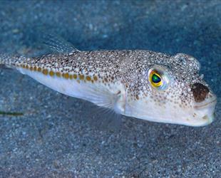 Balon balığı avcılığı deniz suyu sıcaklığının değişmesiyle artacak