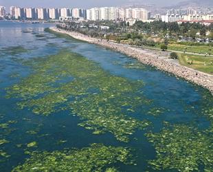 Kirlilikten beslenen deniz marulu, İzmir Körfezi'nde yayılıyor