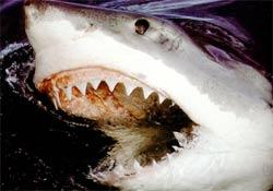 Anamur'da bir tonluk köpekbalığı