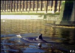 Thames Nehri'nde balina görüldü
