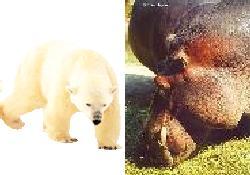Suaygırı ve Kutup ayısı yok oluyor