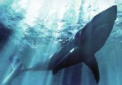 Ahtapot köpekbalığını yuttu