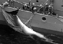 Japonya'da balina avı başladı