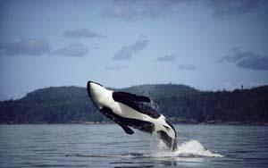Balinalar için kötü haber