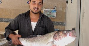 Karadeniz'de 11 kiloluk levrek