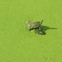 Kaplumbağaların yaşam savaşı