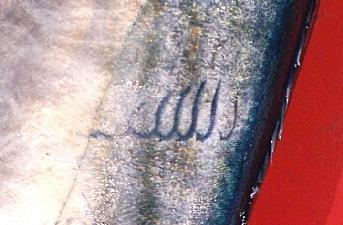 Palamutun üzerinde Allah yazısı