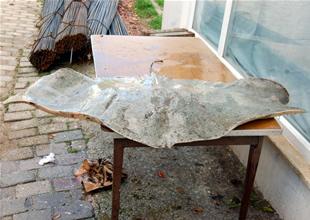 Marmara Denizi'nde 64 kiloluk vatoz yakalandı