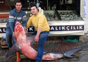 Çanakkale'de dev köpekbalığı yakalandı