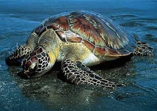 19 bin deniz kaplumbağası denize ulaştı