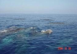 Çeşme açıklarında balina ailesi