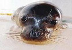 Yavru fok doğal yaşama kavuşuyor