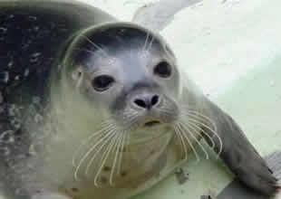 Akdeniz foklarının nesli tehlike altında