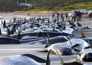 Avustralya'dan Japonya'ya balina uyarısı!