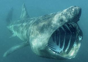 Köpekbalıkları  4 kat daha fazla yiyor