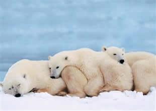 Kutup ayısı avlamak yasaklanmadı