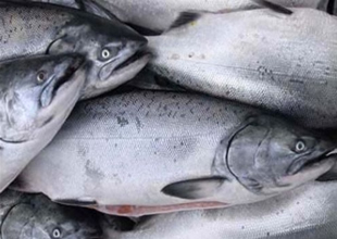 ABD GDO'lu somon balığına onay verdi