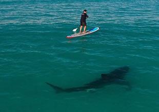 Kıyıya yaklaşan köpekbalıkları öldürülecek