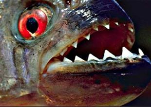 Kongo'da 'timsah yiyen dev balık' yakalandı