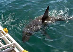 Köpekbalığı istilasına uğrayan plaj kapandı