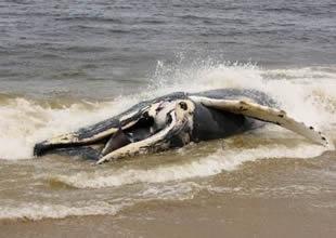 Bu solucanlar koca koca balinaları yiyor