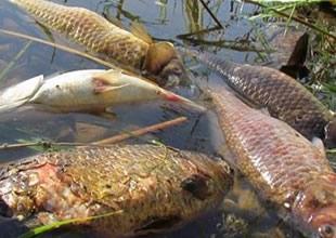 Menderes Nehri'nde kirlilik ve balık ölümleri