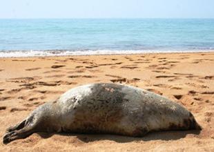 Hazar Denizi'nde foklar katlediliyor