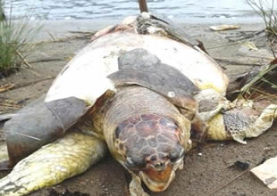 Muğla'da üç deniz kaplumbağası öldürüldü