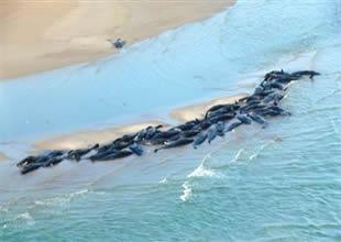 Tazmanya'da 90 balina ve yunus kıyıya vurdu